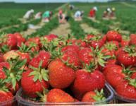 Sezonowa praca w Norwegii przy zbiorach truskawek bez języka 2015 Neskollen