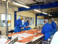 Norwegia praca na produkcji przy rybach w Brandasund od zaraz bez języka norweskiego
