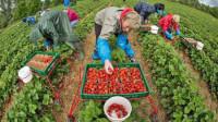 Sezonowa praca Norwegia dla studentów przy zbiorach truskawek Magnor 2015