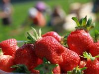 Bez języka oferta pracy w Norwegii od zaraz przy zbiorach truskawek Mesnali