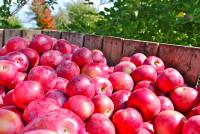 Sezonowa praca w Norwegii przy zbiorach jabłek bez języka Magnor od zaraz