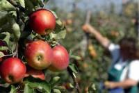 Norwegia praca sezonowa przy zbiorach jabłek bez znajomości języka Elverum