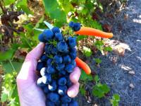 Oferta sezonowej pracy w Norwegii przy zbiorach winogron bez języka Knapper