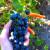 zbiory-winogron-winobranie-2014-1