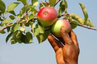 Dam sezonową pracę w Norwegii zbiory jabłek i gruszek Lillehammer 2016