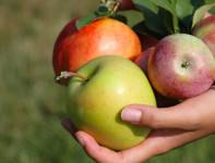 Ogłoszenie sezonowej pracy w Norwegii przy zbiorze jabłek od zaraz Elverum