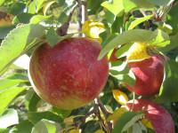 Oferta sezonowej pracy w Norwegii od zaraz zbiory jabłek Lillehammer 2016