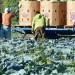 zbiory-kapusty-rolnictwo