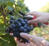 Norwegia sezonowa praca od zaraz w Knapper przy zbiorach winogron
