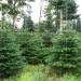 plantacja-choinek-norwegia