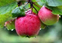 Sezonowa praca Norwegia bez języka zbiory jabłek od zaraz wakacje 2017 Hamar