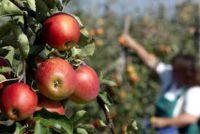 Oferta sezonowej pracy w Norwegii od zaraz przy zbiorach jabłek bez języka Hamar
