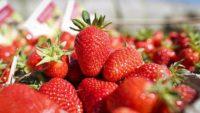 Norwegia praca sezonowa od czerwca zbiory truskawek bez znajomości języka Magnor