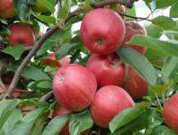 Sezonowa praca Norwegia od zaraz zbiory jabłek bez znajomości języka Hamar