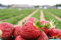 Od czerwca 2020 sezonowa praca Norwegia przy zbiorach truskawek bez języka plantacja w Mangor