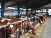 Rolnictwo bez języka dam sezonową pracę w Norwegii od zaraz na farmie mlecznej Tynset