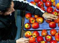 Fizyczna praca Norwegia od zaraz przy sortowaniu owoców bez języka Oslo