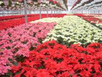 W ogrodnictwie dam sezonową pracę w Norwegii przy kwiatach bez języka 2020 Hamar