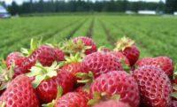 Dam sezonową pracę w Norwegii bez języka na wakacje 2021 zbiory owoców Magnor