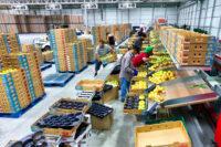 Bez języka oferta fizycznej pracy w Norwegii od zaraz przy sortowaniu owoców Oslo