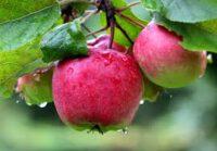 Norwegia praca sezonowa bez języka przy zbiorach jabłek i gruszek od zaraz Lillehammer